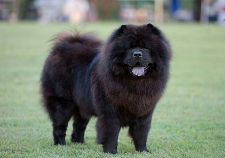 Black-Chow-Chow-Dog-Picture