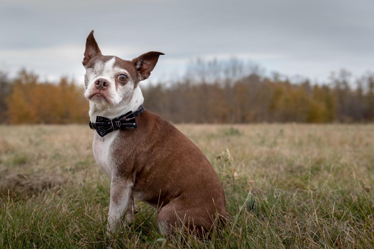 e3833585606 ... Boston Terrier puppy in the future.  12718168 10156573603110444 1202599432060419570 n. My sweet boy